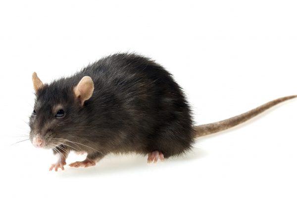 funny grey rat on white background