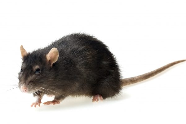funny grey rat on white background